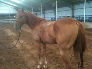 www.Cowboy4Sale.com, texas, horses, horse, for sale, country, stud, mare, breeding, bred, easy, jet, cash, dash, safe, longhorns, sorrel, buckskin, washington, kids, beginner, advanced, show, pleasure, trail, riding, cowboy, cowgirl, freckles, playboy, calf, show, prca, rope tie down